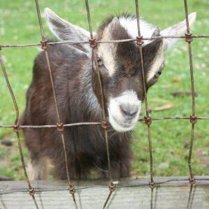 IMG_6771_Goat_sm