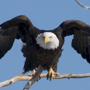 Bald Eagles Along The Mon