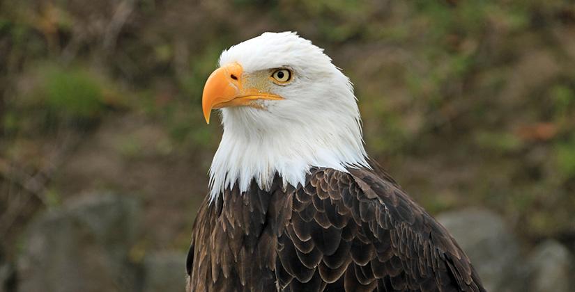 Bald Eagles Along The Mon Mon River Towns